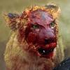 funnyshots: львица в крови