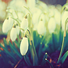 Beth: misc - snowdrops