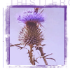 sunlight on your path: thistle