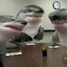 shark meeting