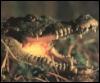 krokodilchik