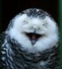 смешливая сова