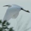 critters: egret in flight