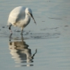 critters: egret fishing