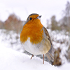 Icepixie: [Photos Stock] Robin in the snow