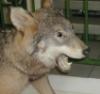 волкъ