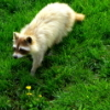 syberian_coon userpic