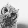 owl, clean