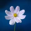cynmia userpic