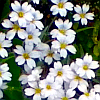 white flowers; my photo