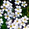white flowers; my photo