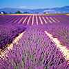 flowers » lavender field
