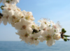 Cherry tree by the sea