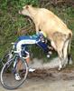 saloblyadygaz: корова