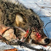 Wolf trapped