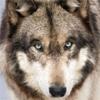 NCIS - Gibbs wolf