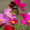 бабочка на космее