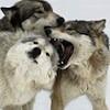 -wolf rally