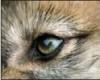 глаз волка
