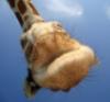 giraffemouth