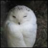 snowy_owl: pic#118619948