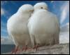 dennih23: doves