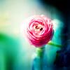 roseice