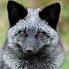 чернобурый лис