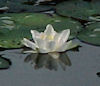 Waterlily by SC