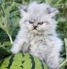 Кот на охране арбуза