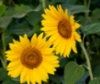sunflower816 userpic
