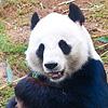 zloy_panda