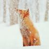 rhuia: fox