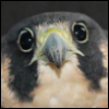 sad falcon eyes