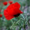 Аленький цветочек от Милы