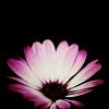 stock: pink daisy