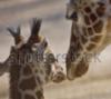 baby giraffe & mother -cropped