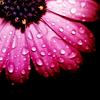 daisy (dark pink)