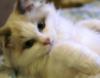 Ragdoll Kitten :)