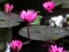 water_liliy userpic
