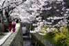 Kyoto, Sakura