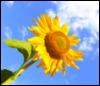 sunflowertv userpic