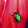 green beetle on red - querita