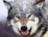 wolf1977