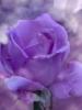 violetja
