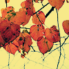 red leaves on yellow -  vucubcaquix