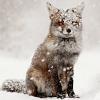 snowy.fox