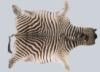 шкура зебры, натуральная шкура зебры, зебра skin, африканская зебра, zebra skin