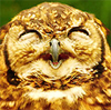 Ina: Laughing owl