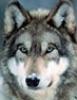 volk полярный